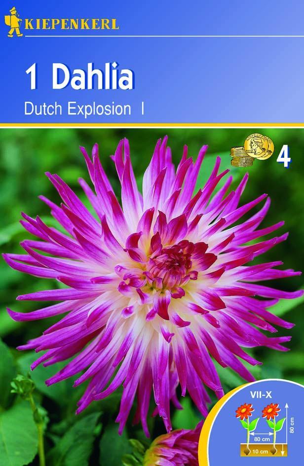 Blumenzwiebeln Dutch Explosion Dahlia x hybrida Bild 1
